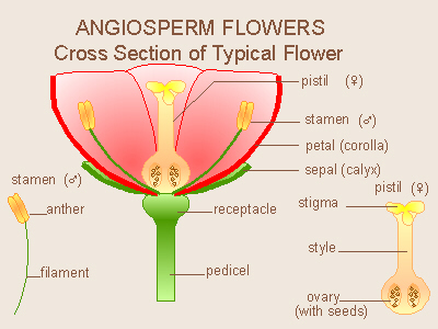 Angiosperms flower parts diagram ccuart Image collections