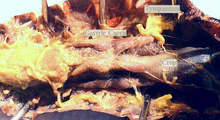Grasshopper Internal Anatomy