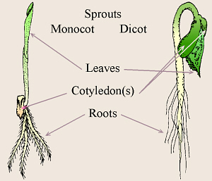 monocot and dicot sprouts