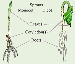 Adult dicot plant