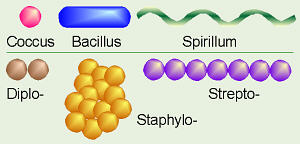 Biology Prefixes and Suffixes: diplo-