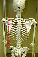 how many ribs?, Human Body